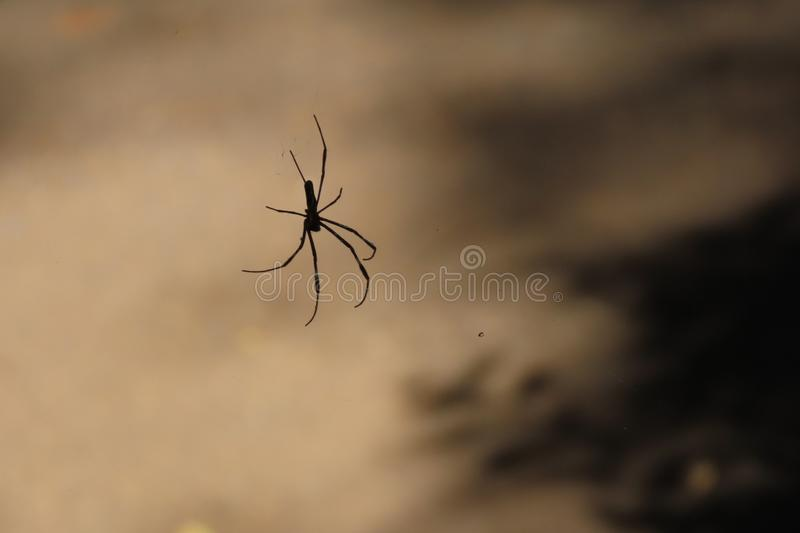 Long-legged black spider trapped in an invisible web royalty free stock photos