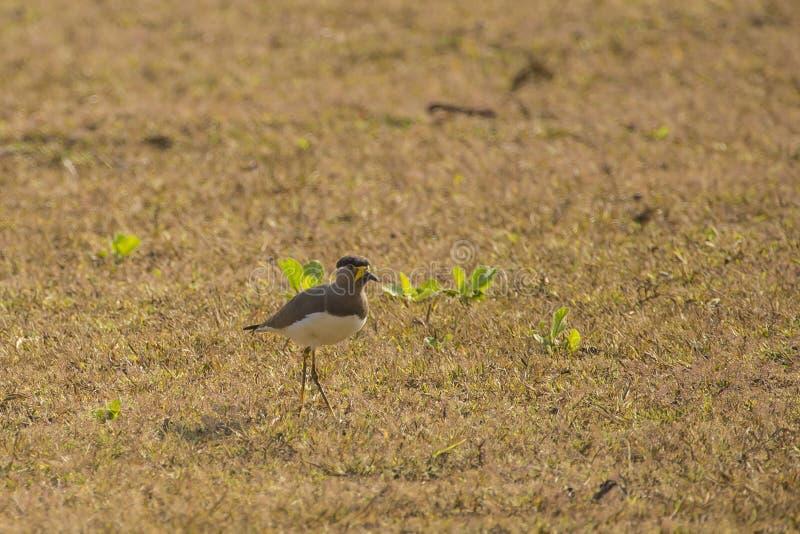 Yellow Wattled Lapwing Walking stock photo