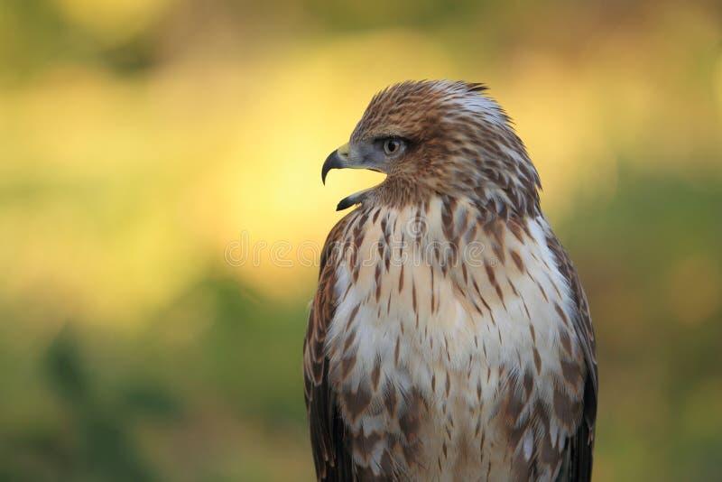 Download Long-legged buzzard stock photo. Image of legged, animal - 22266028