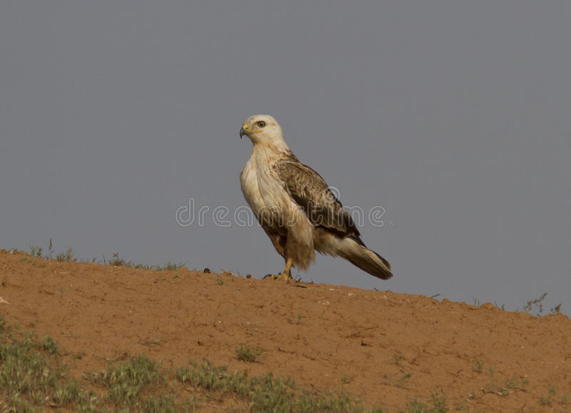 Long-legged Buzzard (Buteo rufinus)-2. royalty free stock photos