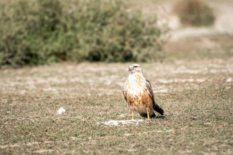 Long legged buzzard or buteo rufinus portrait. He was sitting in open field with a beautiful green background at tal chhapar. Clean image of long legged buzzard royalty free stock images