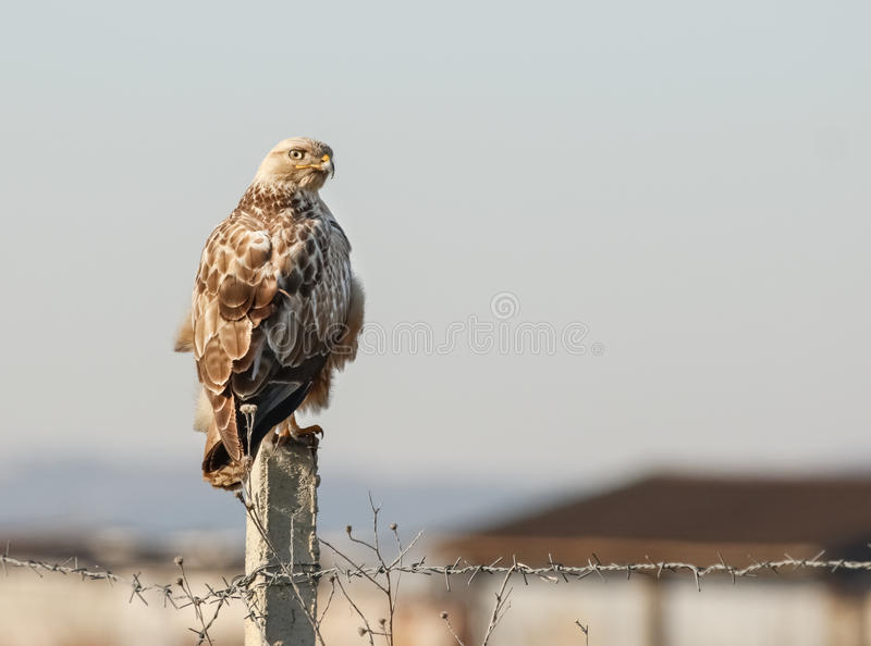 Long-legged Buzzard Buteo rufinus stock photo