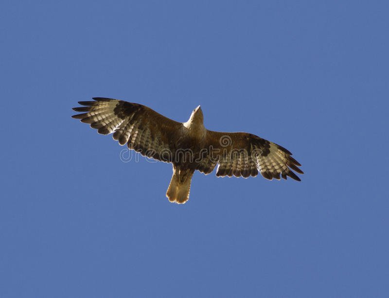 Long-legged Buzzard soaring in a sky Kalmykia. royalty free stock photo