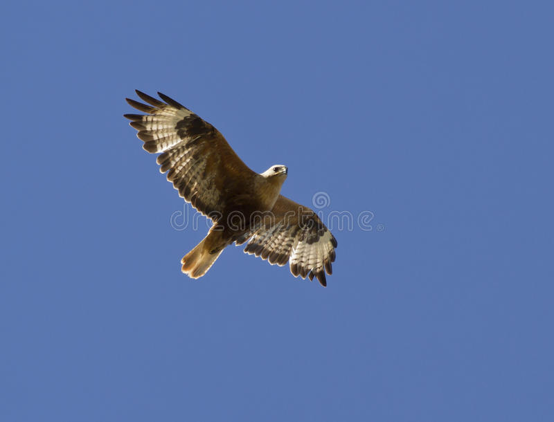 Long-legged Buzzard soaring in a sky Kalmykia.. stock photos