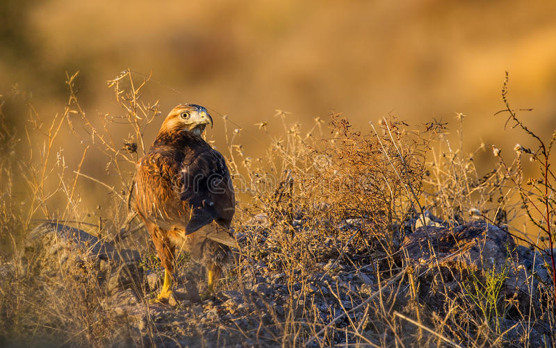 Long-legged Buzzard under Setting Sun. A long-legged buzzard (Buteo refines) is resting and looking around under setting sun