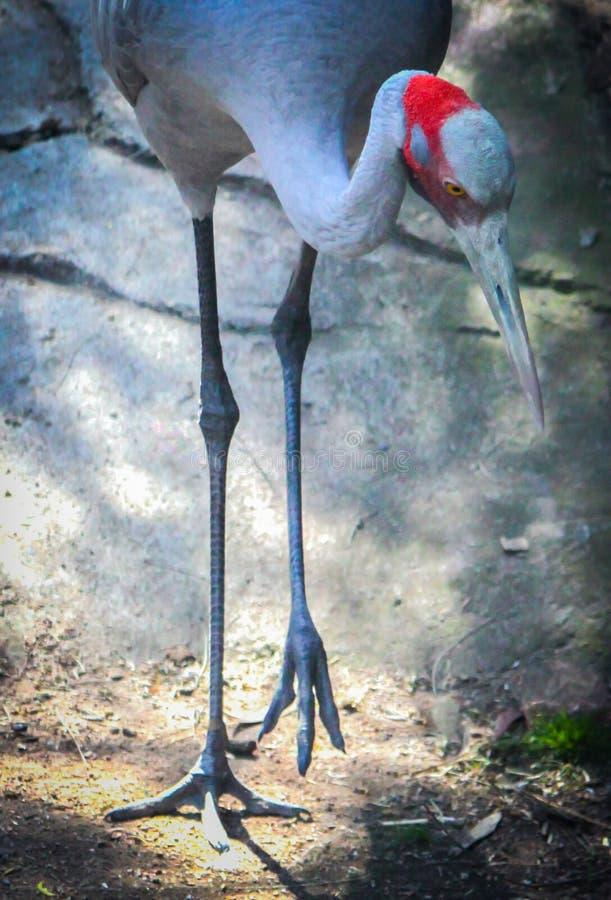 Long-legged Crane stock photos