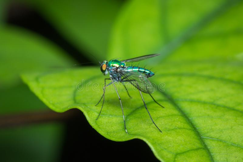 Long-legged fly on green leaf stock images