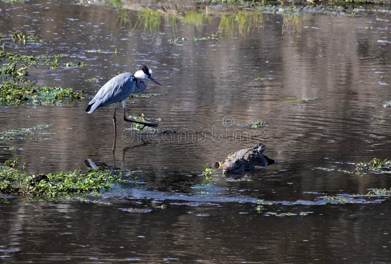 Long legged Heron Ardeidae standing in water with raised leg as he see a crocodile approaching. Kruger National Park, South. Africa stock photography
