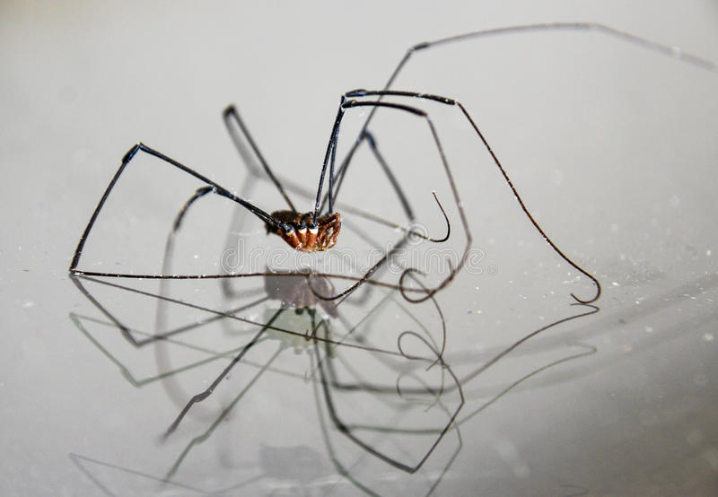 Long legged spider royalty free stock photo