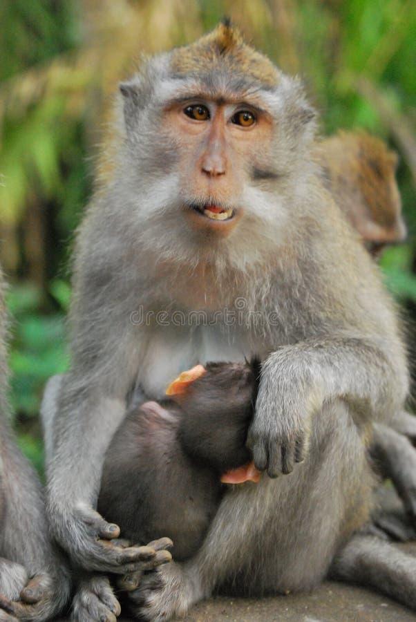 Long Macaque suivi photographie stock libre de droits