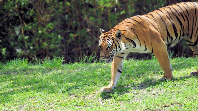 Long male tiger. Male tiger walking on the ground in Zoo Miami, South Florida royalty free stock images