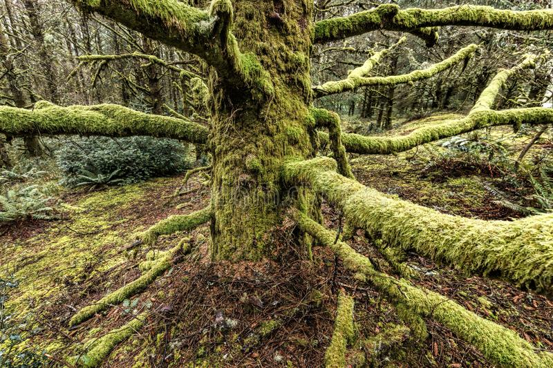Long moss covered branches in Oregon. stock photography