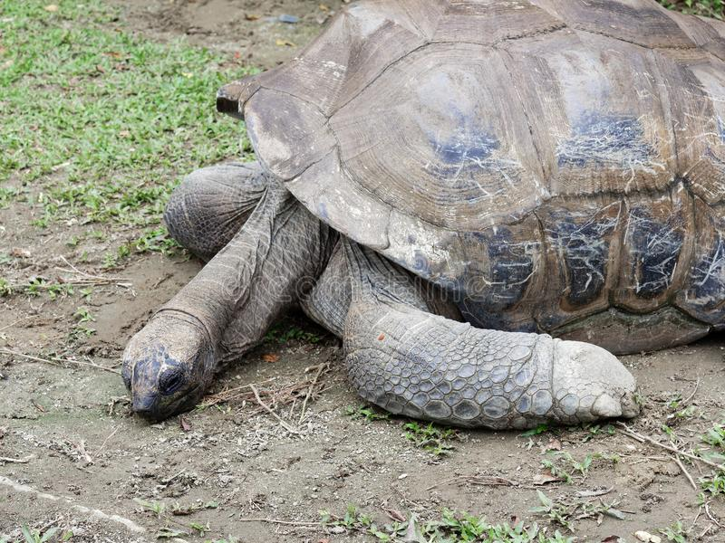 Long neck giant black tortoise trying to raise his head from the ground stock photography