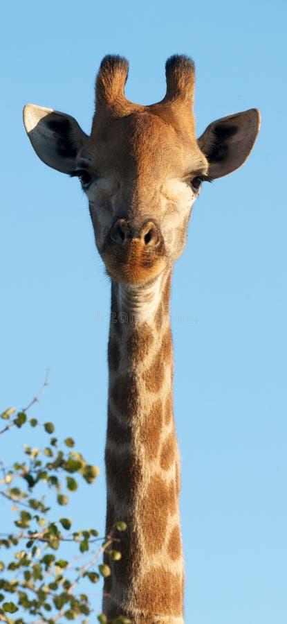 Long Neck Giraffe stock image
