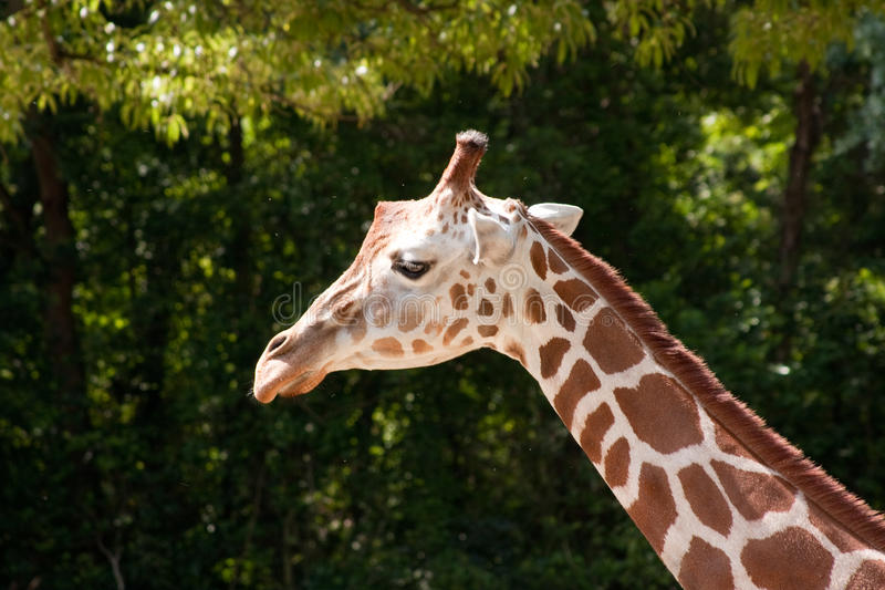 Download Long Neck Of A Giraffe stock image. Image of pattern - 22926595