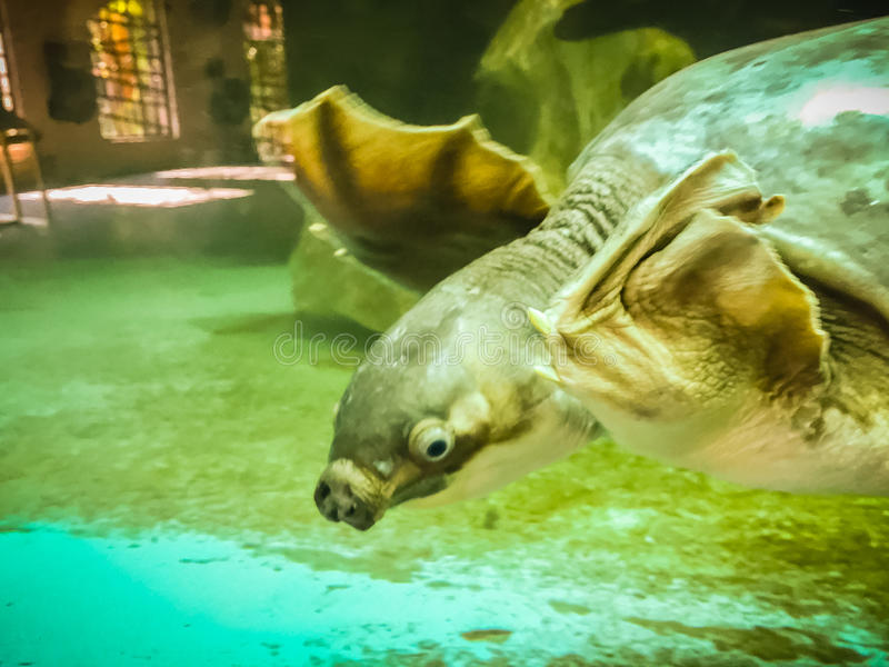 Long-necked turtle (snake-necked turtle) is swimming in the glass pond. stock photography