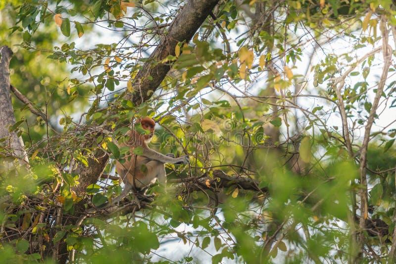 Long nose monkey sitting on tree branch, Labuk Bay, Borneo stock photography
