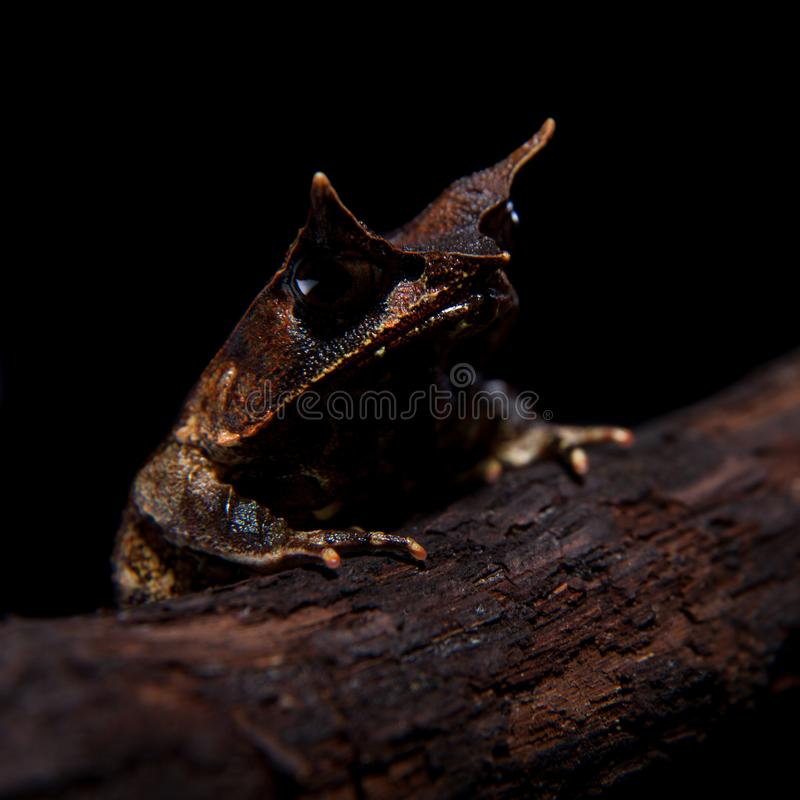 The long-nosed horned frog on black. The long-nosed horned frog, Megophrys nasuta, isolated on black background stock photos