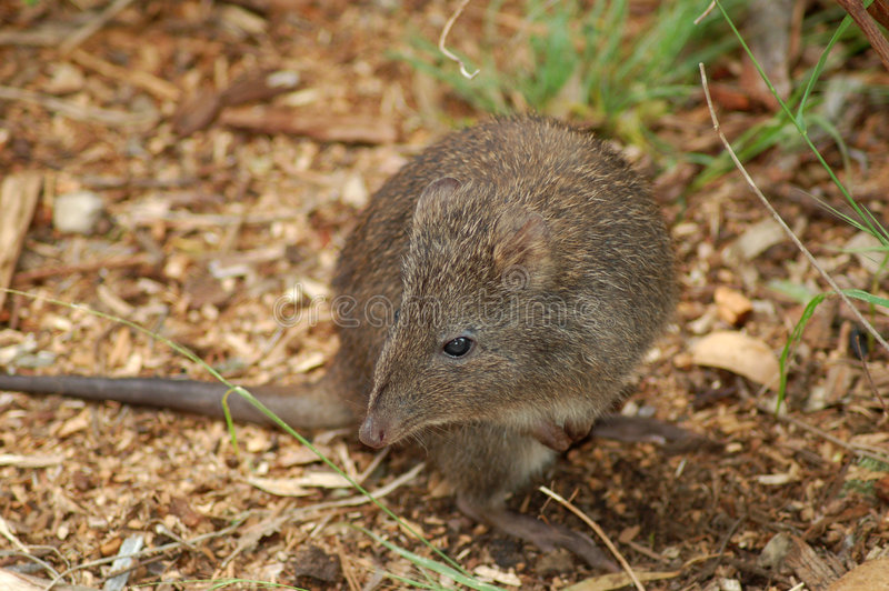 Download Long-Nosed Potoroo stock photo. Image of macropod, critter - 460278