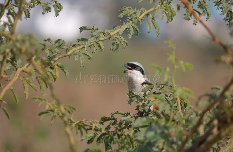 Long oiseau suivi de Shrike photo stock