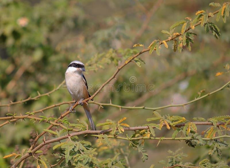 Long oiseau suivi de Shrike photos stock