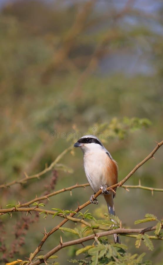 Long oiseau suivi de Shrike images stock