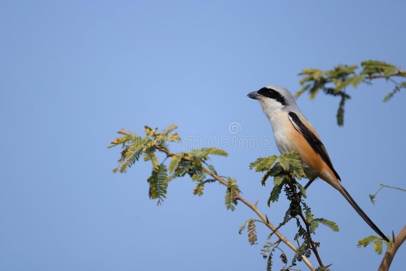 Long oiseau suivi de Shrike image stock