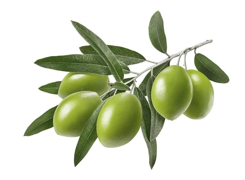 Long olive branch isolated on white background stock photography