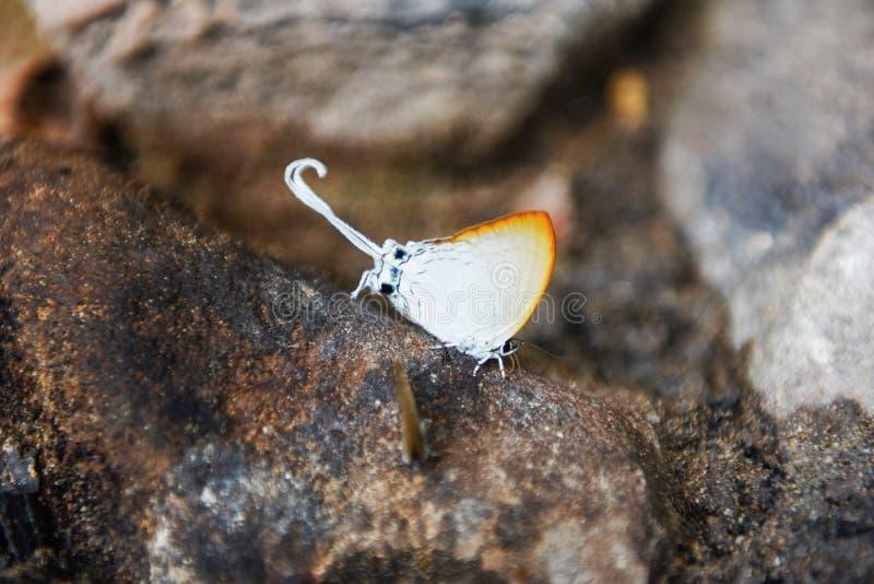Long papillon coupé la queue - insectes étranges avec les ailes oranges et la queue de papillon blanc sur la roche dans la forêt  images libres de droits