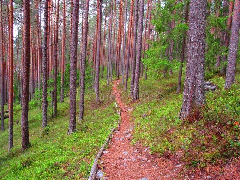 A long path true the forest whit pine on both side. A long path in the pine forest where its steep and lots of blueberry late in the summer stock photos