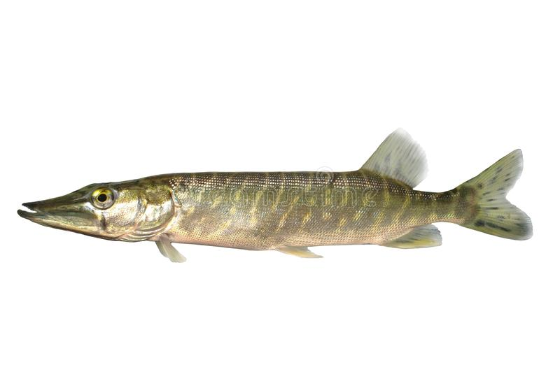 Long pike royalty free stock images