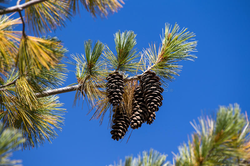 Long Pine Cone on Tree Branch royalty free stock photo