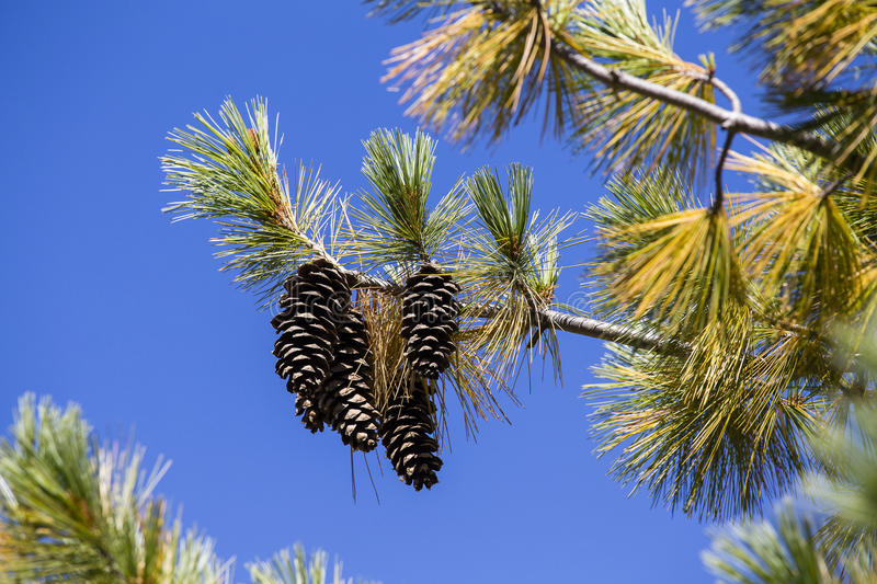 Long pine cone on tree branch against the blue sky. Himalayas, Nepal stock images