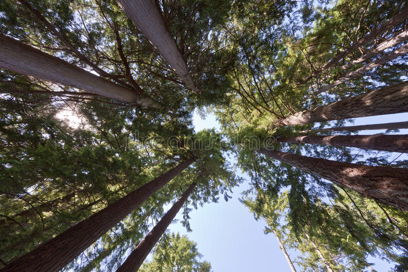 Long Pine Trees. Converging to the sky in British Columbia, Canada royalty free stock images