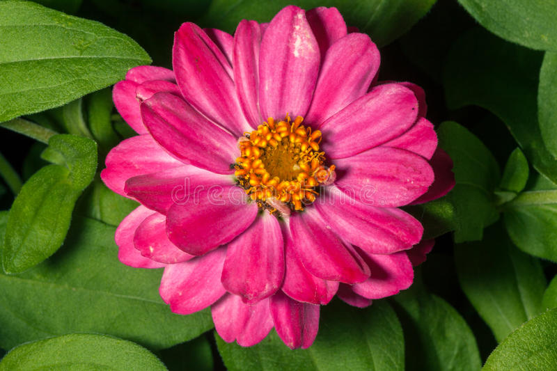 Long pink flower with yellow center stock image image of garden download long pink flower with yellow center stock image image of garden pink mightylinksfo Image collections
