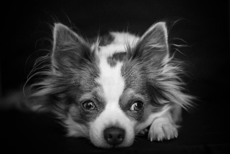Long portrait de b&w de chien de chiwawa de cheveux avec le fond noir photo libre de droits
