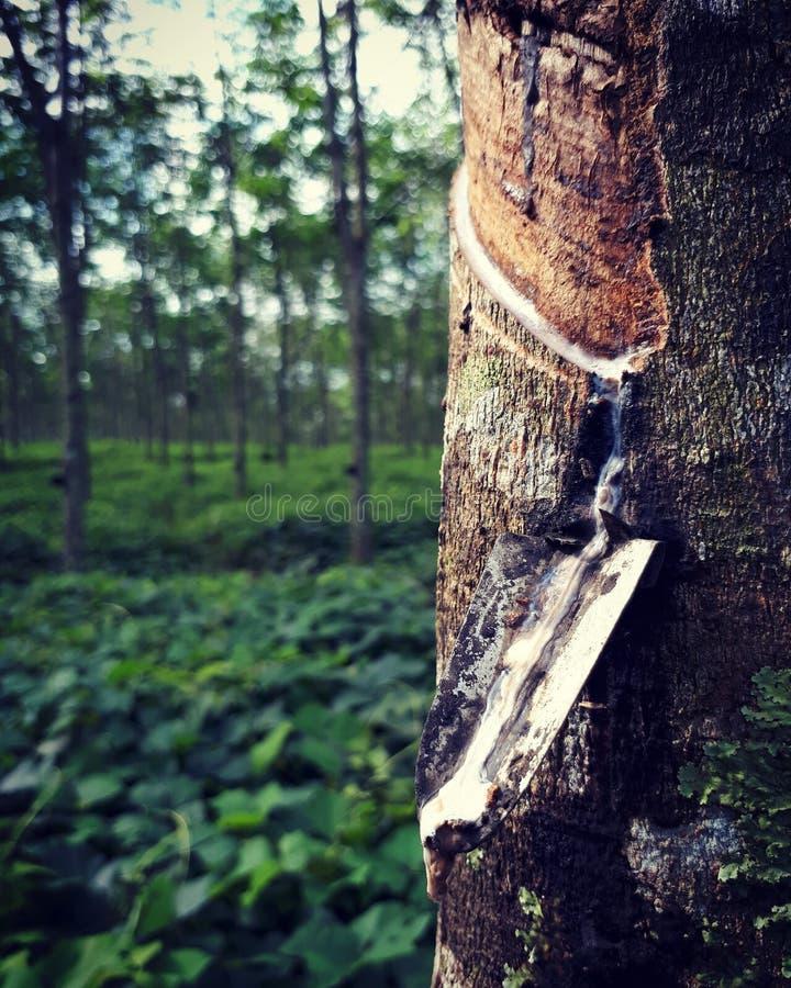 Rubber tree stock photos