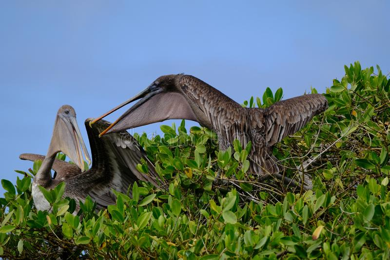 Long-range shot of two pelicans sitting on top a tree on a sunny day stock image