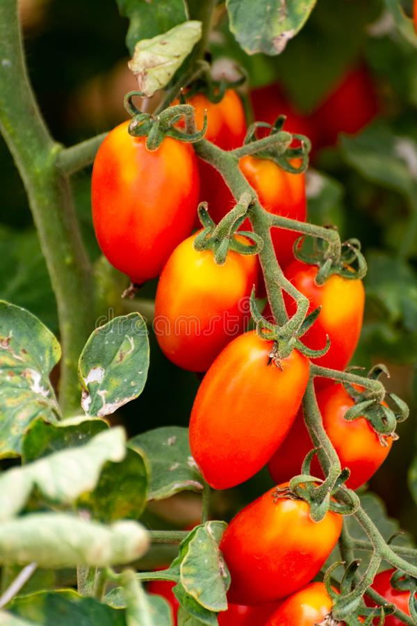 Red italian datterini pomodori tomatoes growing in greenhouse, used for passata, pasta and salades. Long red italian datterini pomodori tomatoes growing in stock image