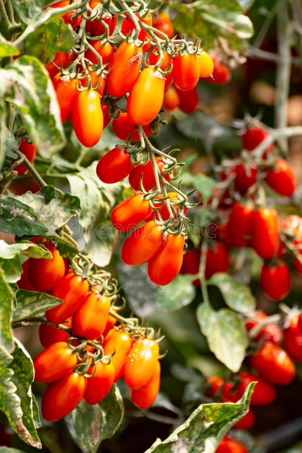 Red italian datterini pomodori tomatoes growing in greenhouse, used for passata, pasta and salades. Long red italian datterini pomodori tomatoes growing in stock images