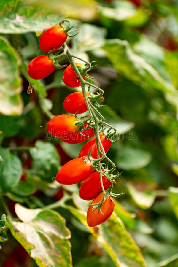 Red italian datterini pomodori tomatoes growing in greenhouse, used for passata, pasta and salades. Long red italian datterini pomodori tomatoes growing in royalty free stock photos