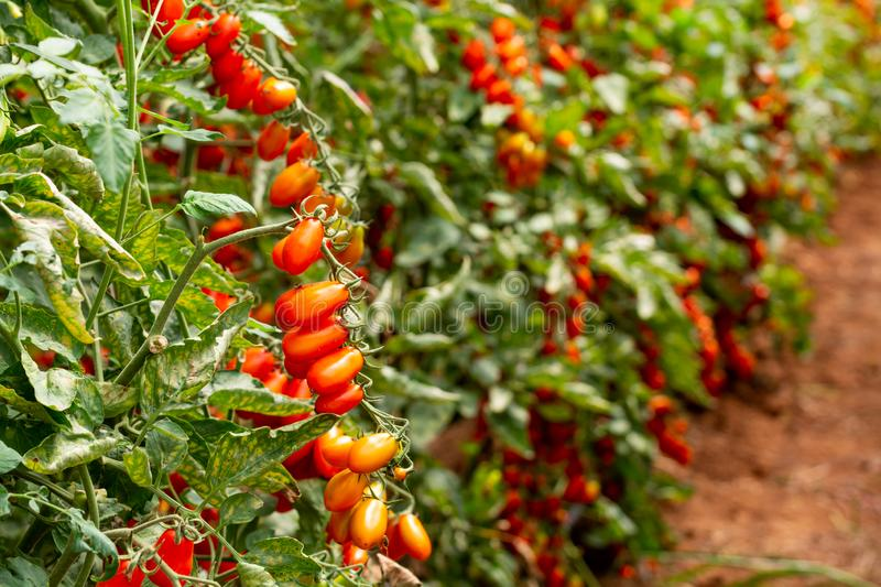 Red italian datterini pomodori tomatoes growing in greenhouse, used for passata, pasta and salades. Long red italian datterini pomodori tomatoes growing in royalty free stock image