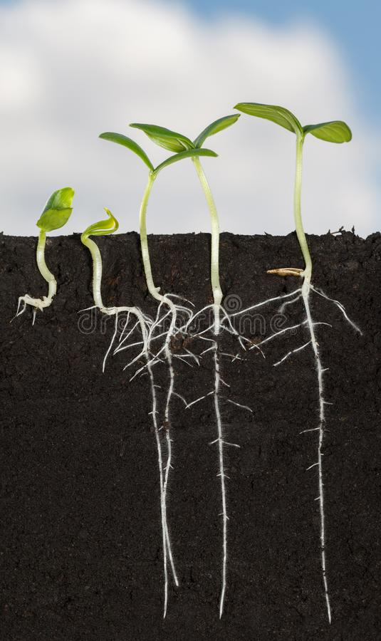 Free Long Roots Of Cucumber Sprouts Under Ground Royalty Free Stock Photography - 121850787