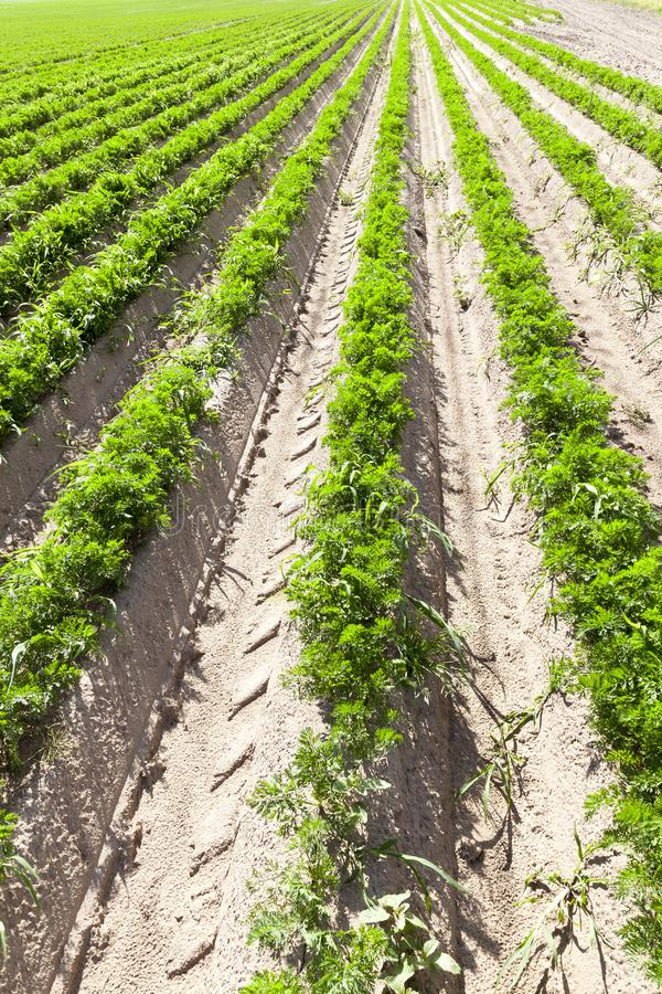 Long rows of carrots. Growing in grooves in the agricultural field, perspective closeup of plants for food stock photo