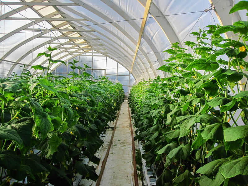 Long rows of cucumber vines to grow vertically in the greenhouse. Long rows of cucumber vines to grow vertically stock photo