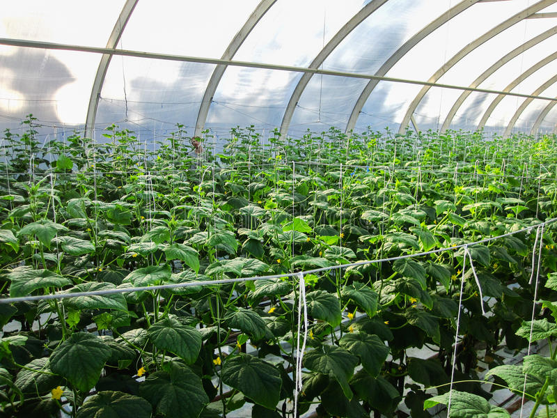Long rows of cucumber vines to grow vertically in the greenhouse. Long rows of cucumber vines to grow vertically royalty free stock photos