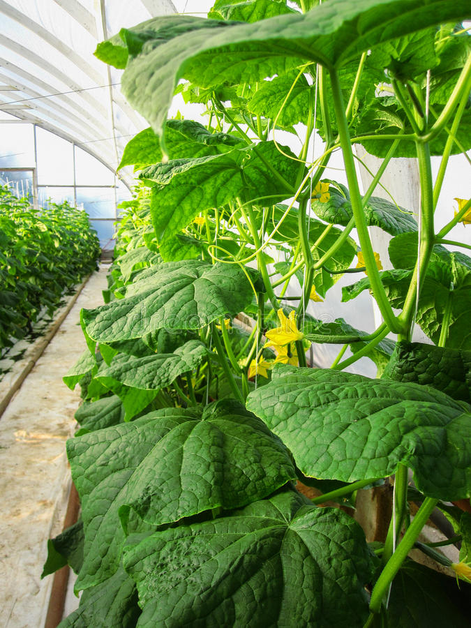Long rows of cucumber vines to grow vertically. In the greenhouse stock image