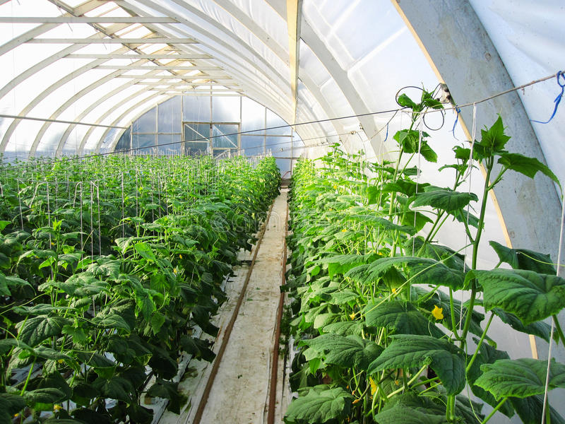 Long rows of cucumber vines to grow vertically in the greenhouse. Long rows of cucumber vines to grow vertically e royalty free stock photo