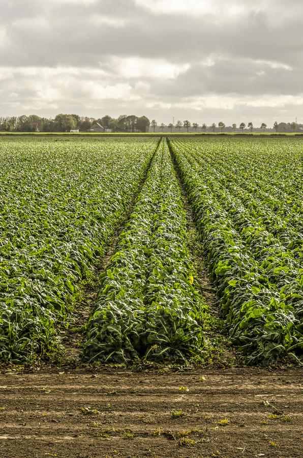 Long rows of crops. Long rows of fodderbeets on a field in Noordoostpolder North East Polder, the Netherlands royalty free stock photography