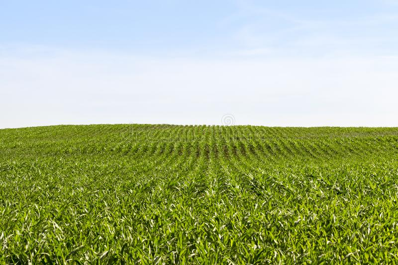 Long rows of green corn. In spring, agricultural activity, perspective stock images